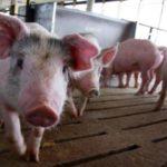Украина потеряла статус экспортера свинины